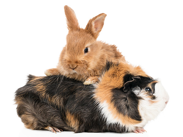 Rabbits and Rodents